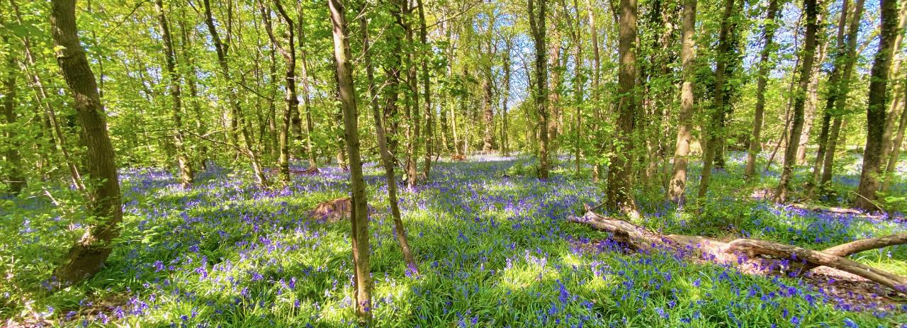 Bluebell wood in Cholmondeley