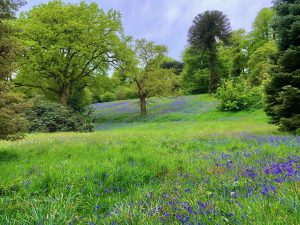 Bluebells in Cholmondeley