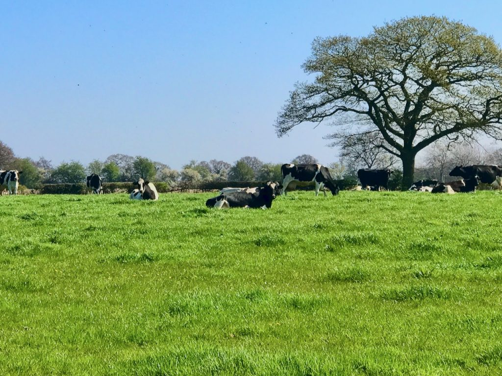 Dairy Cows in Chorley