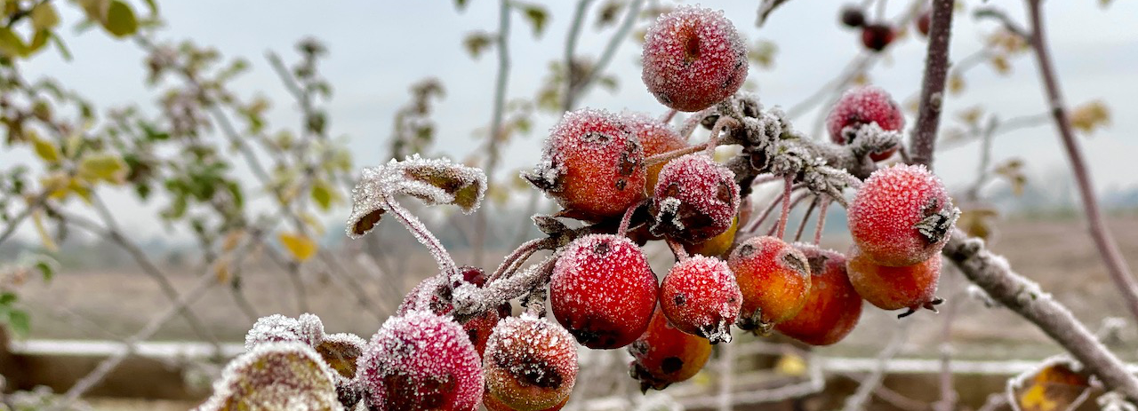 Frost covered crabapples in Chorley