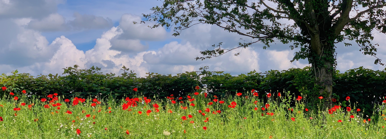 Poppies in Cholmondeley