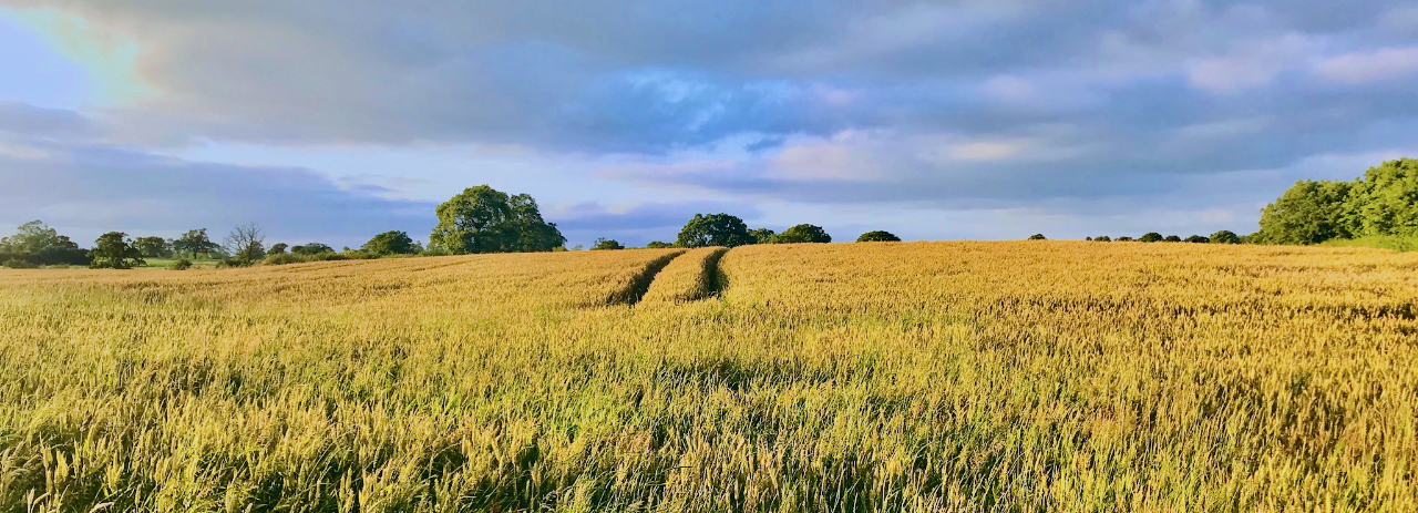 Wheat Field in Chorley