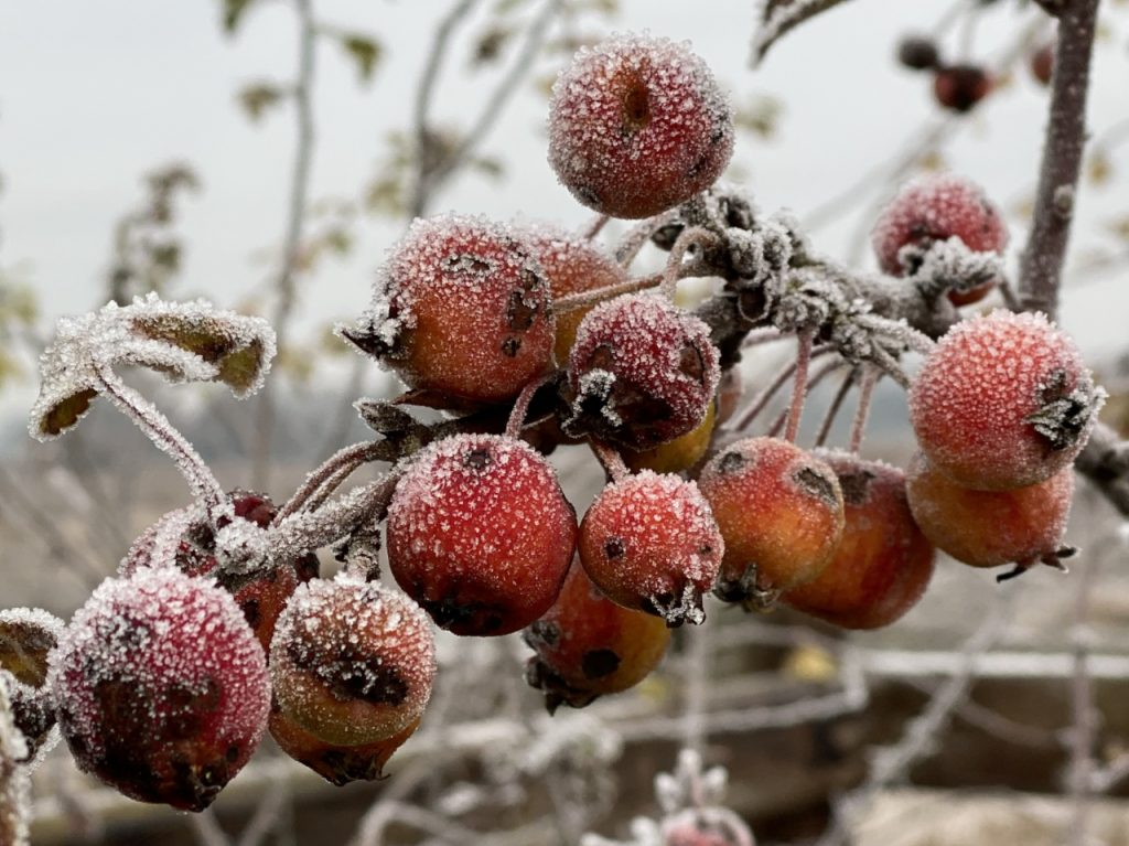 Frost Covered Crab Apples